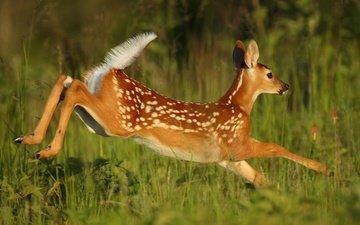 трава, олень, прыжок, бег, детеныш, косуля, олененок