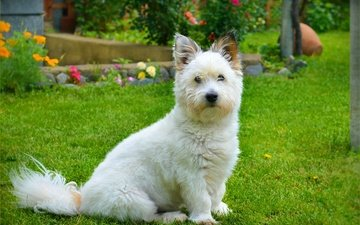 grass, muzzle, look, dog, the west highland white terrier