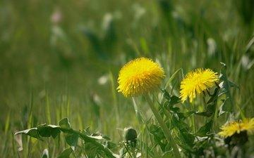 flowers, grass, spring, dandelions