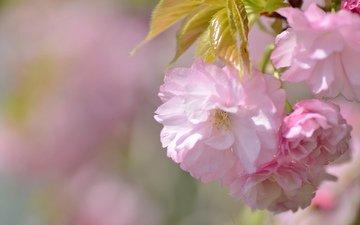весна, сакура