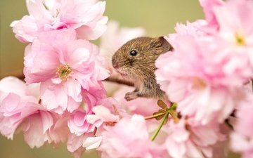 flowers, branch, flowering, macro, spring, sakura, mouse, animal, rodent, vole