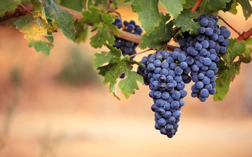 leaves, grapes, berries, vine, bunches