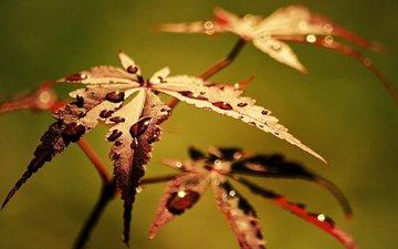 leaves, macro, rosa, drops, autumn