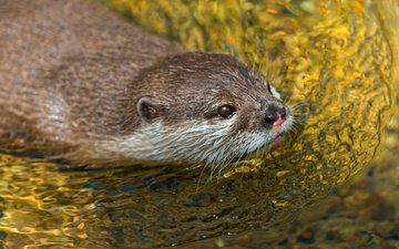 water, pond, floats, otter, rodents