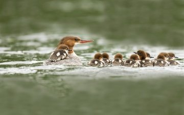 water, pond, birds, beak, ducklings, duck, goosander
