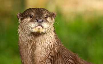 face, look, animal, otter, river otter