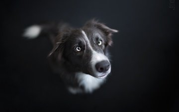 muzzle, look, dog, black background, each, the border collie