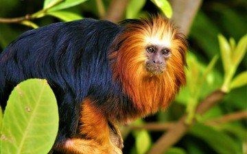 листья, мордочка, взгляд, животное, обезьяна, тамарин, игрунка, львиная игрунка