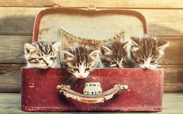 mustache, look, cats, kittens, suitcase, faces