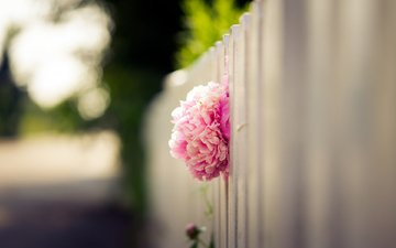 flower, petals, the fence, blur, bud, pink, peony