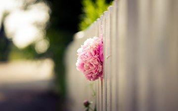 цветок, лепестки, забор, размытость, бутон, розовый, пион
