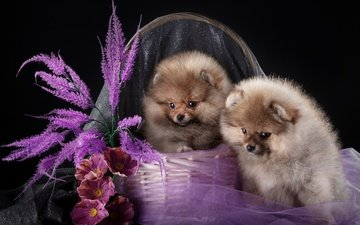 flowers, look, fabric, black background, basket, puppies, dogs, faces, duo, spitz