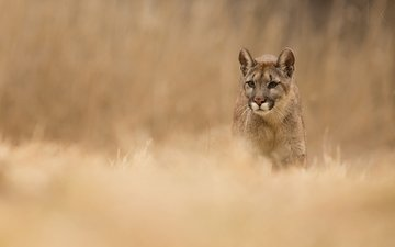 face, grass, nature, look, predator, animal, puma, wild cat