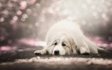 muzzle, sadness, look, dog, lies, bokeh