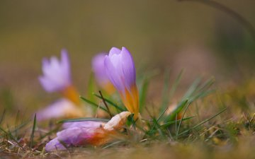flowers, grass, nature, blur, spring, crocuses