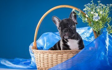 flowers, muzzle, look, dog, puppy, fabric, forget-me-nots, basket, bulldog, french bulldog