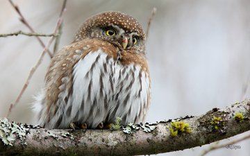 owl, branch, bird, beak, feathers, pygmy owl