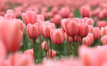 цветы, бутоны, лепестки, весна, тюльпаны, розовые