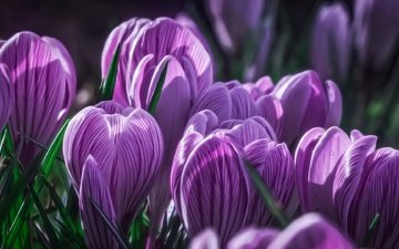 flowers, buds, macro, purple, crocuses, saffron