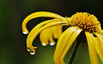 yellow, macro, flower, drops, petals