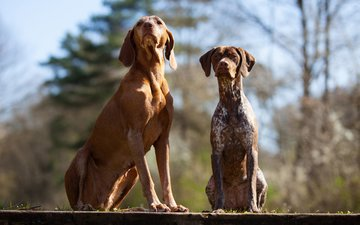 nature, look, friends, dogs, faces, vizsla