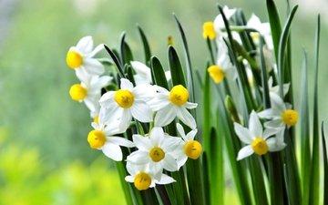 цветы, лепестки, весна, стебли, нарциссы