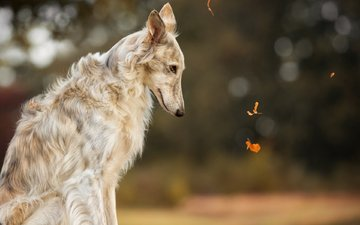 muzzle, look, dog, greyhound, russian borzoi, russian greyhound