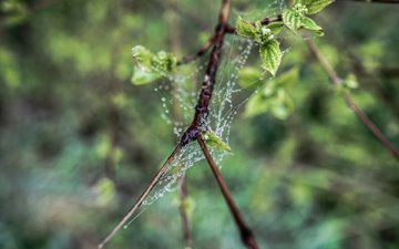 nature, leaves, macro, branches, rosa, drops, web