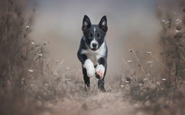 plants, muzzle, look, dog, puppy, running, the border collie