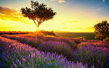 the sky, flowers, clouds, trees, the sun, field, lavender, france, provence