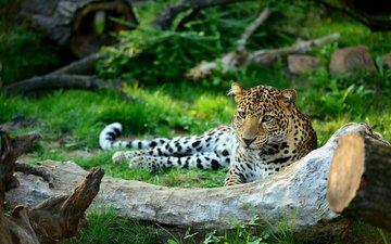 face, look, leopard, predator, wild cat, patrik staněk