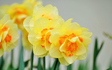 flowers, petals, spring, stems, daffodils