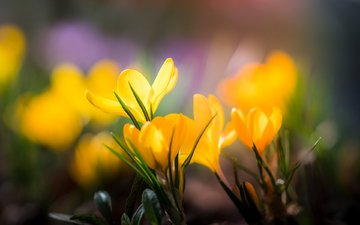 flowers, petals, blur, spring, yellow, crocuses