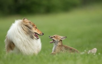 grass, dog, cub, collie, fox