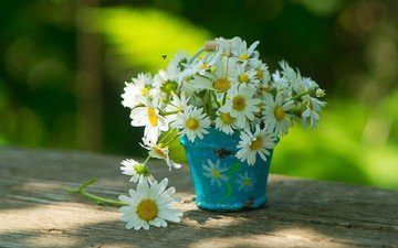 flowers, summer, board, petals, chamomile, white, a bunch, bucket