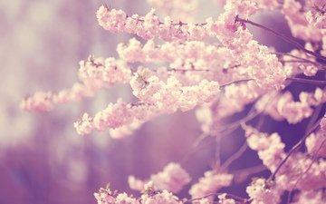 цветение, ветки, весна, вишня