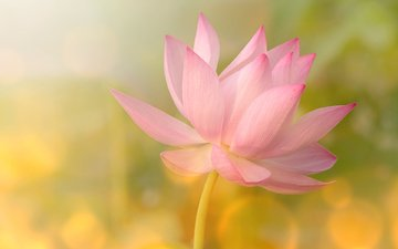 flower, petals, glare, lotus, pink