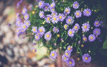цветы, лепестки, астра, сиреневые, татарская