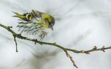 ветка, размытость, птица, клюв, перья, чиж