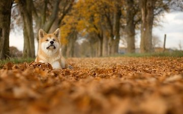 trees, leaves, muzzle, look, dog, shiba inu