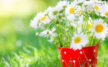 flowers, grass, petals, chamomile, bouquet, white, bucket