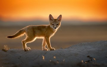 sunset, desert, fox, fenech, ears, tail