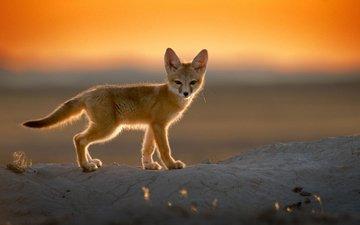 закат, пустыня, лиса, фенек, лисица, уши, хвост, лисичка