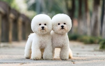 look, poodle, dogs, faces, bichon frise