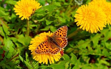 flowers, insect, butterfly, wings, dandelions, kriya