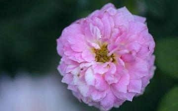 цветение, роза, лепестки