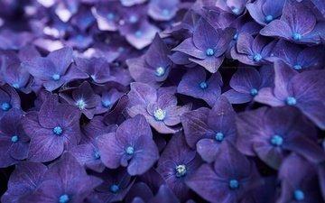 flowers, macro, petals, hydrangea