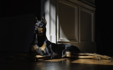 look, dog, lies, doberman