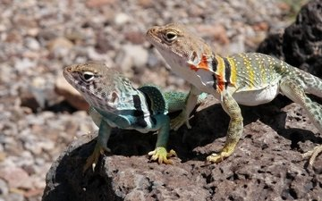 stones, iguana, lizards, collared iguana