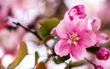 цветы, ветка, цветение, листья, весна, яблоня
